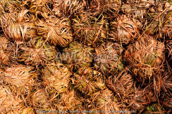 Africa, Liberia, Monrovia. Bundles of dried pandanus.