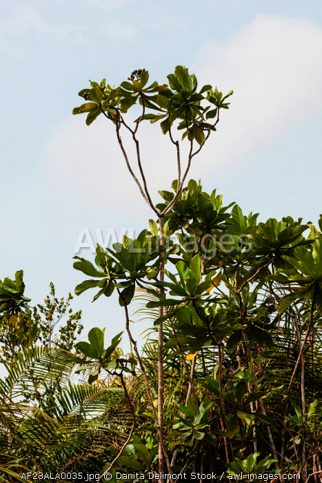 Africa, Liberia, Monrovia. View of mangroves on the Du River.