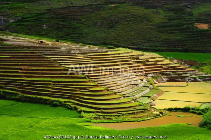 Madagascar, Ambalavao, spectacular green rice field in rainy season.