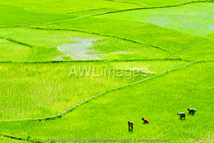 Madagascar, Inland, people working in green rice fields.
