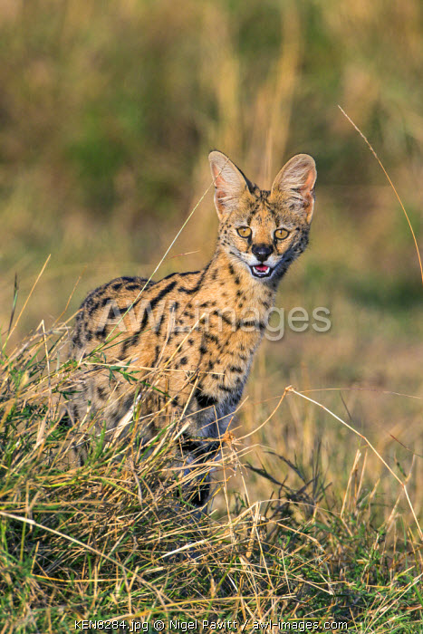 awl-images.com - Kenya / Kenya, Masai Mara, Narok County. A Serval Cat pauses motionlessly looking for prey in long grass on the plains of Masai Mara National Reserve.