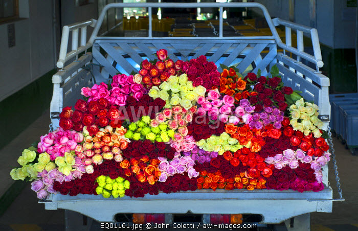 Rose Farm, Truckload of Picked Mixed Roses Ready For Shipment To The United States, Eucador is One of The Largest Growers of Roses In The World Because of Its Proximity To The Equator, Spring Like Temperatures, Latacunga, Cotopaxi Province, Ecuador