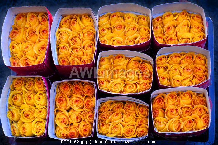 Rose Farm, Bouquets of Yellow Roses Ready For Shipment To The United States, Eucador is One of The Largest Growers of Roses In The World Because of Its Proximity To The Equator, Spring Like Temperatures, Latacunga, Cotopaxi Province, Ecuador