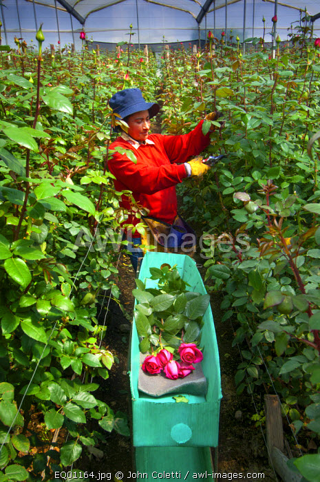 Rose Farm, Farmer Cuts Roses And Stacks Them In A Green Box, Eucador is One of The Largest Growers of Roses In The World Because of Its Proximity To The Equator, Spring Like Temperatures, Latacunga, Cotopaxi Province, Ecuador