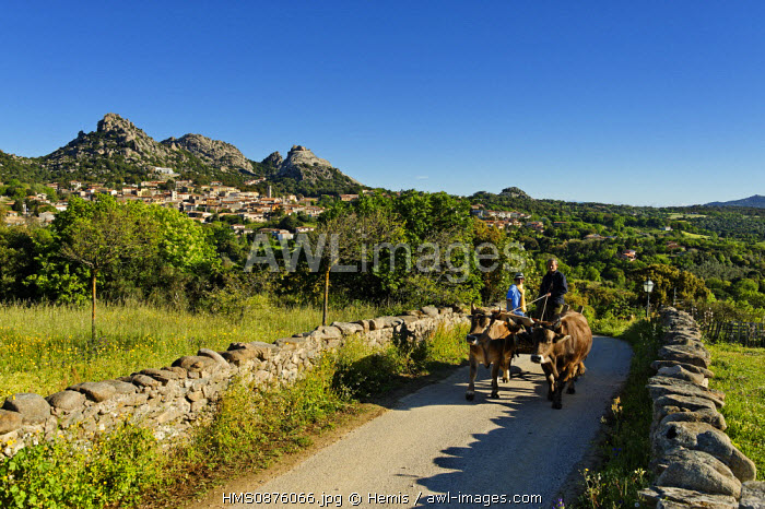 Italy, Sardinia, Olbia Tempio Province, Aggius, horse wagon pulled by a couple of beef on a small road with a village in the background