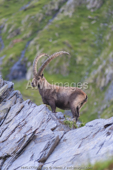 Switzerland, Ticino, wild goat at Capanna Scaletta