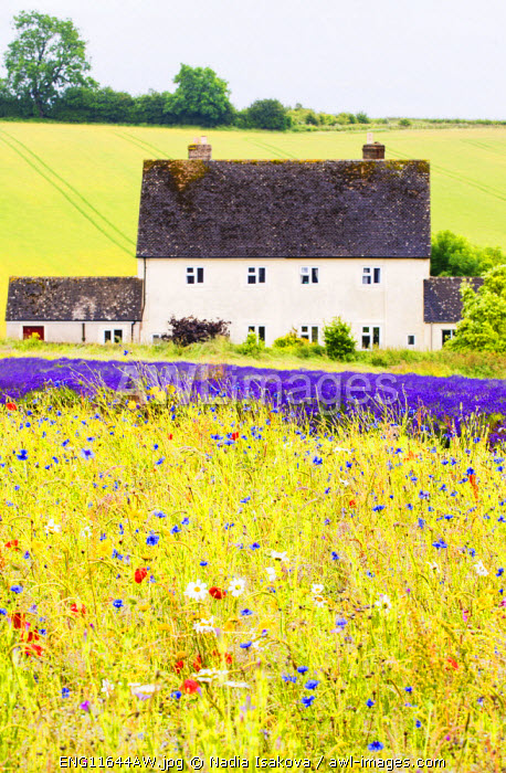 Wildflower meadow and lavender fields, Cotswolds, Worcestershire, UK