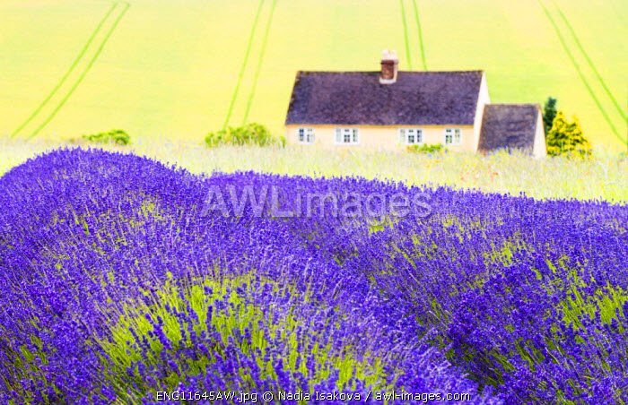 Lavender fields, Cotswolds, Worcestershire, UK