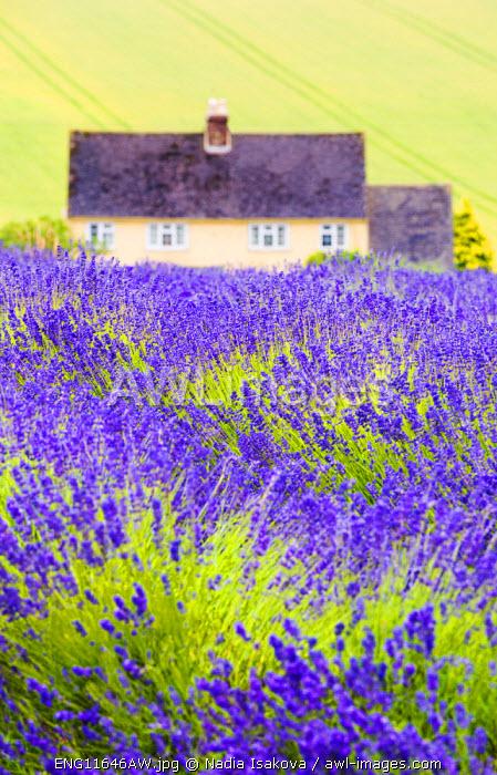 Lavender fields, Cotswolds, Worcestershire, UK