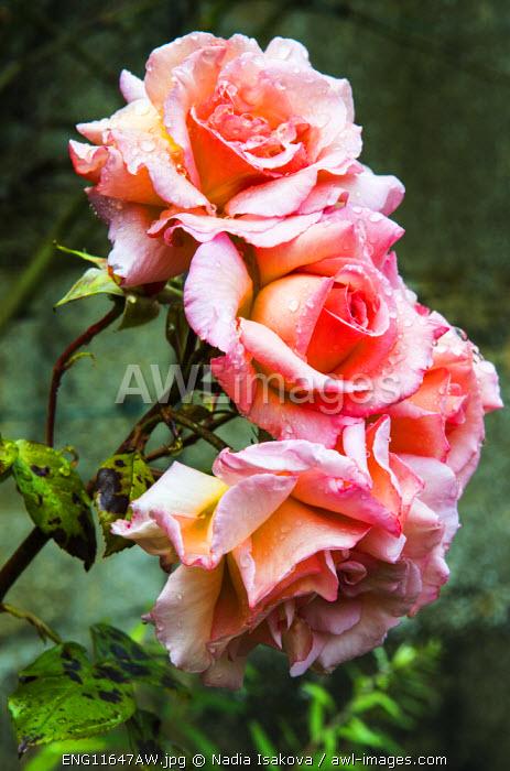 Roses, Snowshill, Gloucestershire, UK