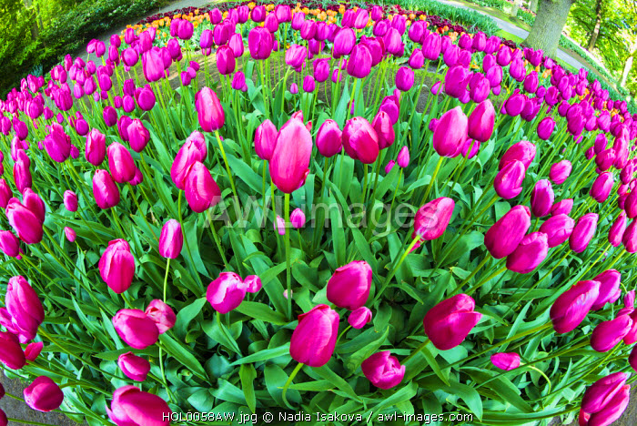 Tulips at Keukenhof Gardens, Duin- en Bollenstreek, the Netherlands
