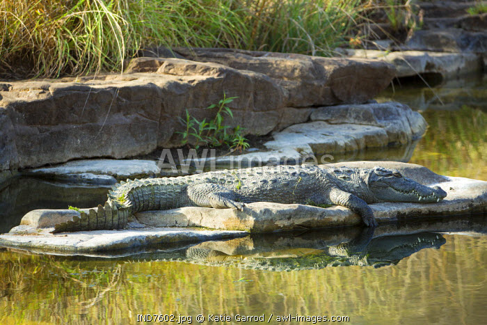 India, Rajasthan, Ranthambore. A crocodile soaking up the warmth of the sun.