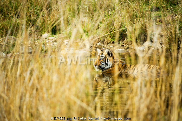 India, Rajasthan, Ranthambore. A young tiger cooling down in the heat of the day.