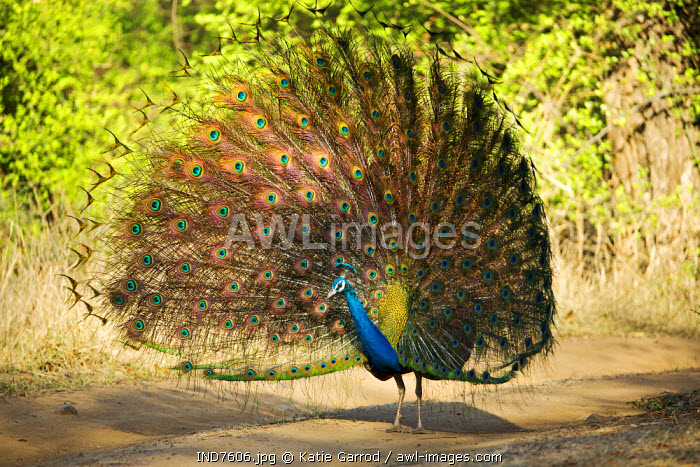 India, Rajasthan, Ranthambore. A peacock displaying.