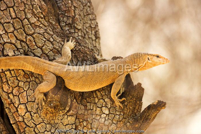 India, Rajasthan, Ranthambore. Monitor lizard climbing a tree.