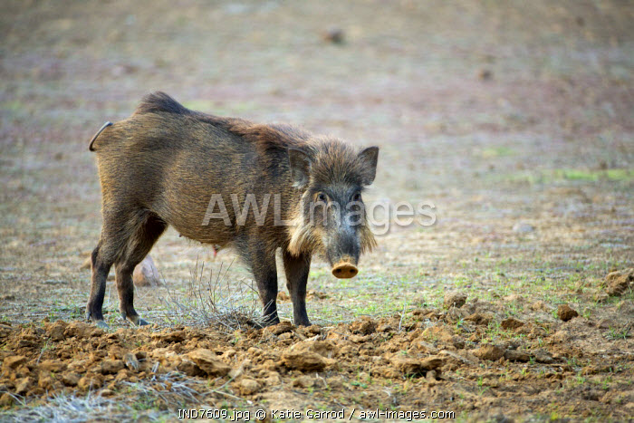 India, Rajasthan, Ranthambore. A wild boar foraging for food.