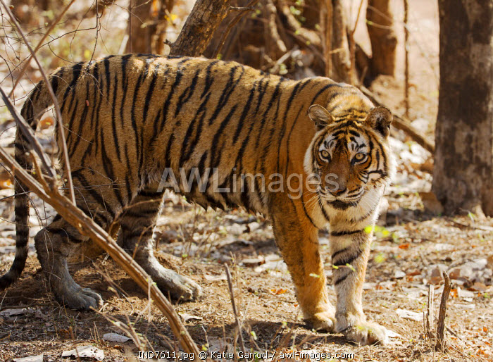 India, Rajasthan, Ranthambore. Machli, the most famous and most photographed tiger in India.