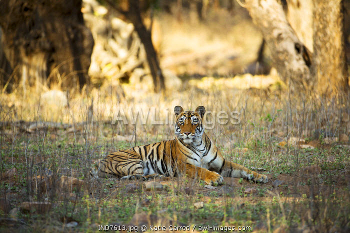 India, Rajasthan, Ranthambore. A tigress resting in the heat of the day.