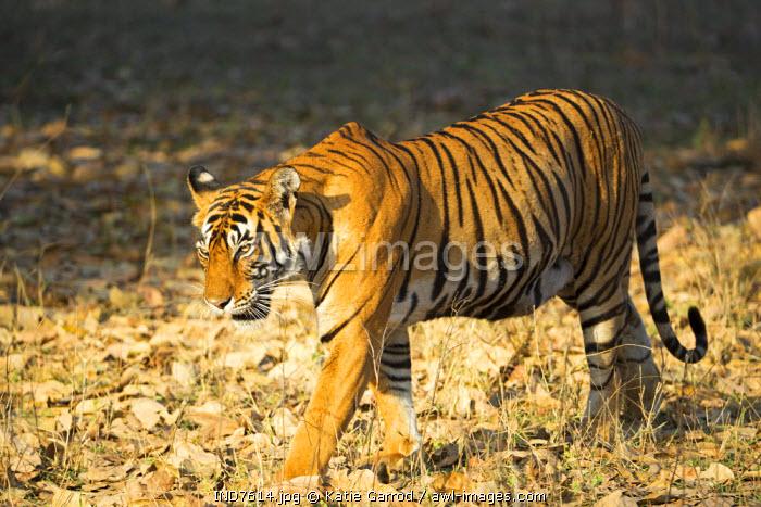India, Rajasthan, Ranthambore. A tigress who has recently given birth.