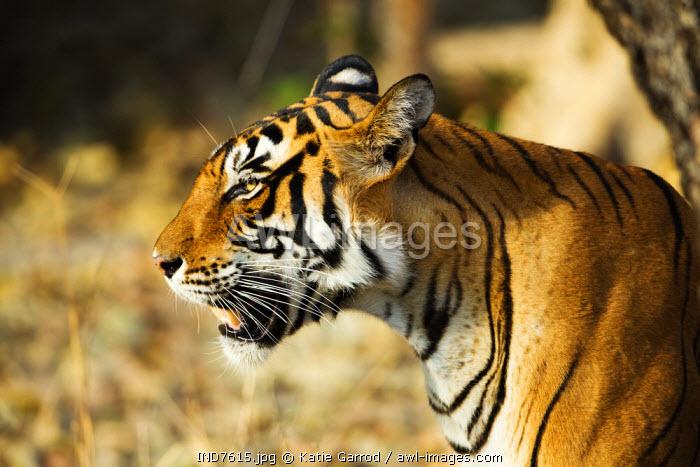India, Rajasthan, Ranthambore. Profile of a tigress.