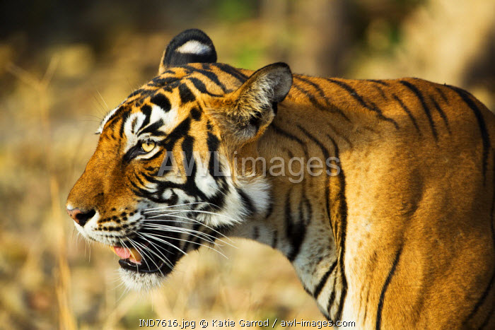India, Rajasthan, Ranthambore. Profile of a tigress.