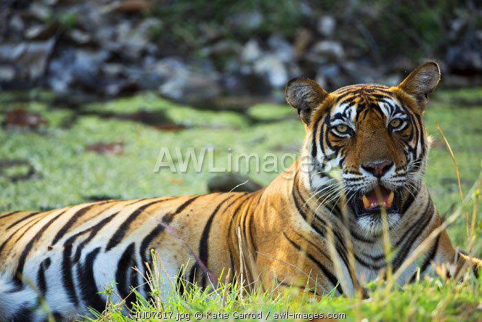 India, Rajasthan, Ranthambore. A tigress cooling off in the heat of the day.