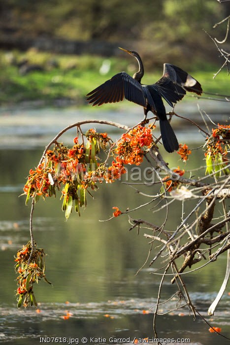India, Rajasthan, Ranthambore. A darter drying his wings in the sun after a dive.