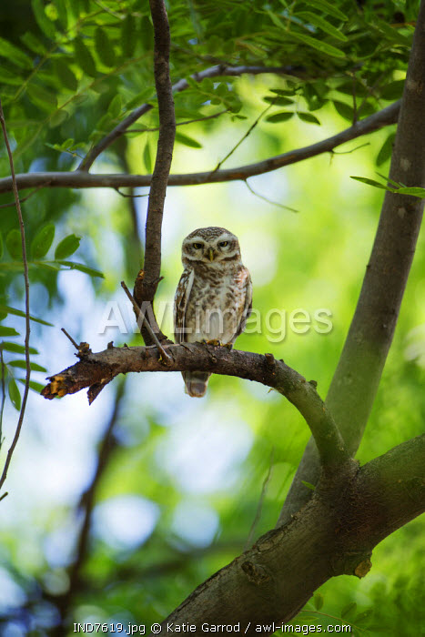 India, Rajasthan, Ranthambore. A spotted owlet.