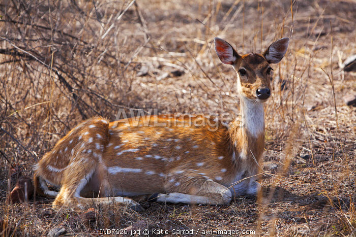 India, Rajasthan, Ranthambore. A spotted deer resting in the heat of the day.