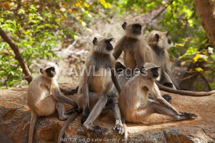 India, Rajasthan, Ranthambore. A troop of Langur monkeys.