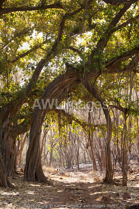 India, Rajasthan, Ranthambore. An archway formed by the branches of banyan trees.