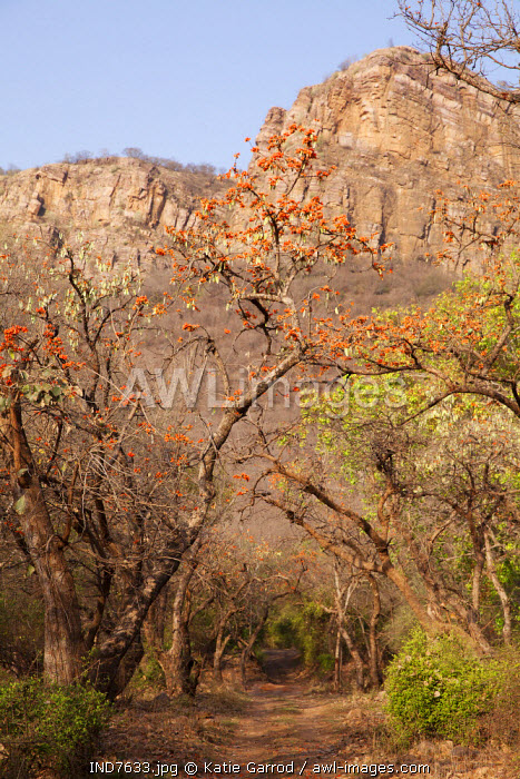India, Rajasthan, Ranthambore. Flame of the Forest trees in blossom.