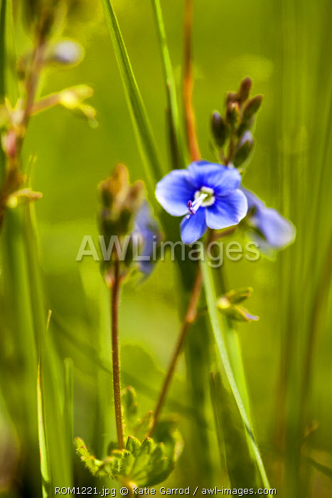 Romania, Transylvania, Zalanpatak. Speedwell growing up on the high meadows.