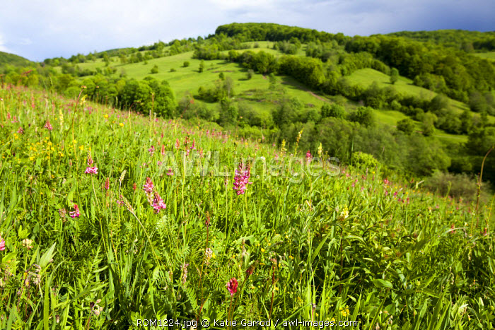 Romania, Transylvania, Zalanpatak. The high meadows covered in wild flowers.