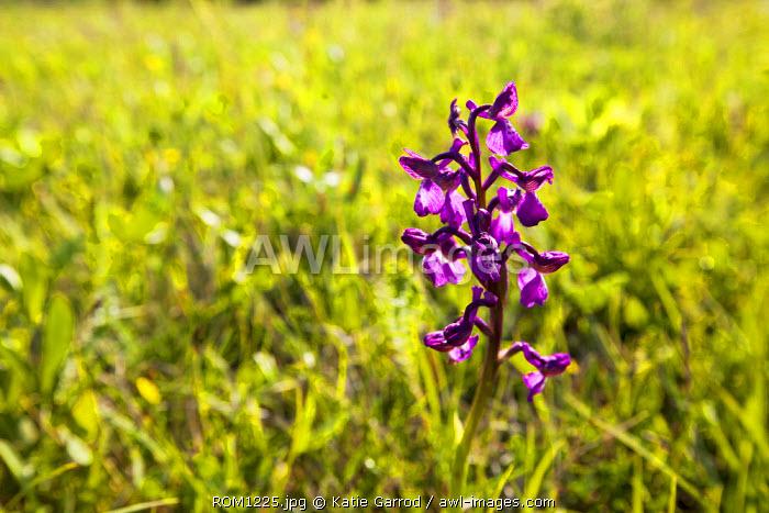 Romania, Transylvania, Zalanpatak. An Early-Purple Orchid up on the high meadows.