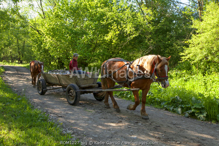 Romania, Transylvania, Zalanpatak. Bringing down the milk from the high pastures.