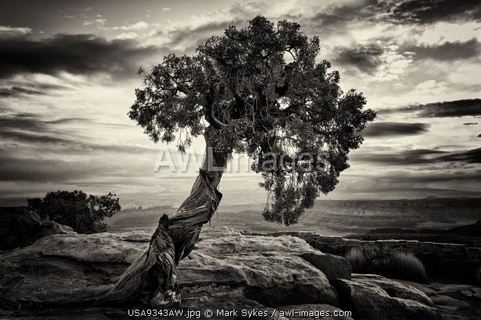 U.S.A., Utah, Dead Horse Point State Park, Juniper Tree