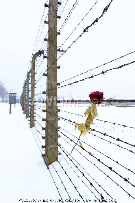 Europe, Eastern Europe, Poland, Auschwitz-Birkenau (German Nazi Concentration and Extermination Camp) Memorial and State Museum, a rose on the barbed wire fence outside the camp