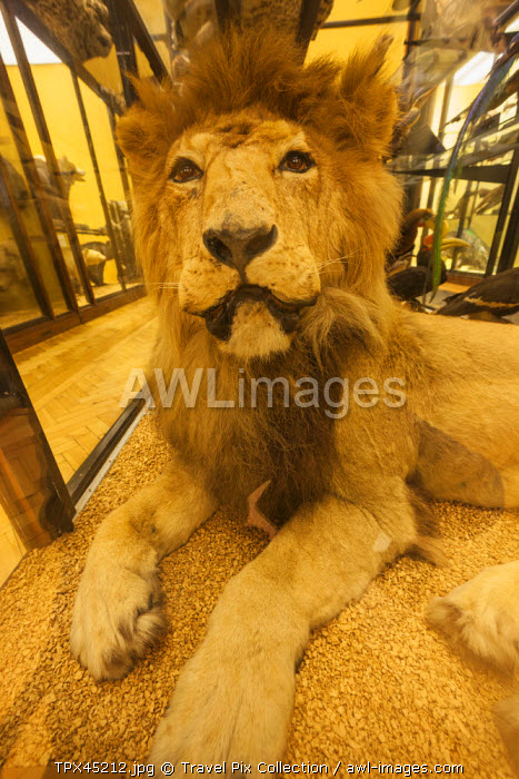 England, Hertfordshire, Tring, The Natural History Museum, Exhibit of Lion