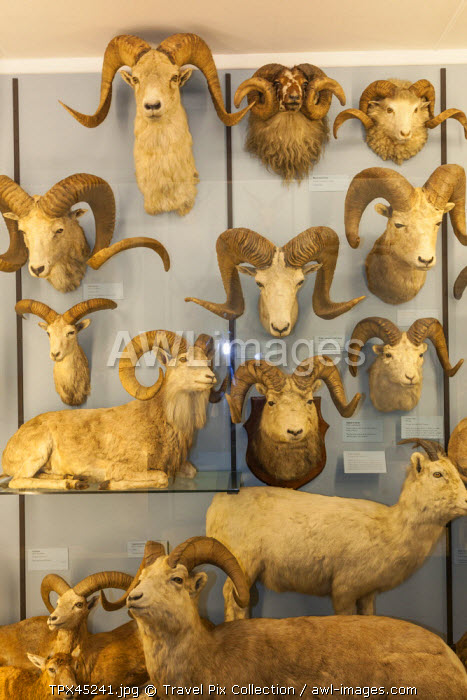 England, Hertfordshire, Tring, The Natural History Museum, Exhibit of Rams Heads