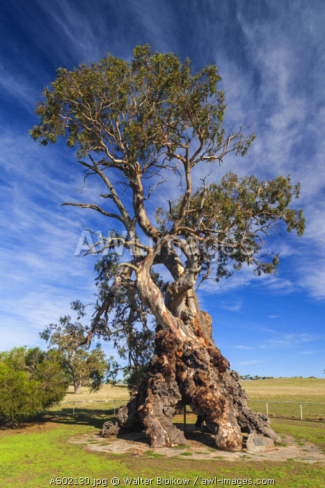 Australia, South Australia, Barossa Valley, Springton, The Herbig Tree, first home of German immigrant Friedrich Herbig, symbol of early South Australian immigration