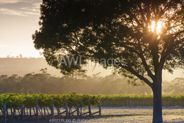 Australia, South Australia, Barossa Valley, Tanunda, vineyards, dawn
