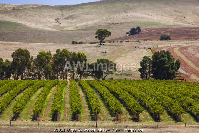 Australia, South Australia, Clare Valley, Auburn, vineyard