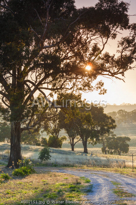Australia, South Australia, Clare Valley, Clare, gum trees by Brooks Lookout, dawn