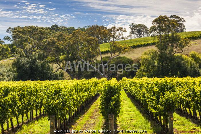 Australia, South Australia, Adelaide Hills, Gumeracha, vineyard