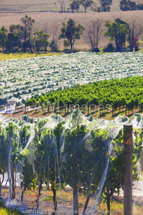 Australia, Victoria, VIC, Yarra Valley, vineyard vines under mesh fabric
