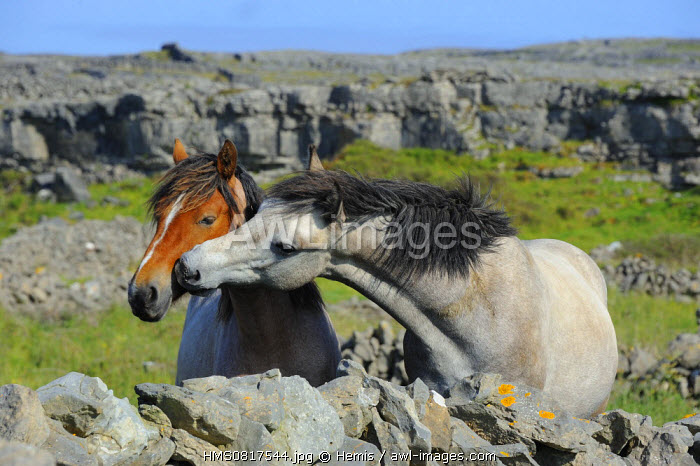 Ireland, County Galway, Aran Islands, Inishmore, Friendly kiss