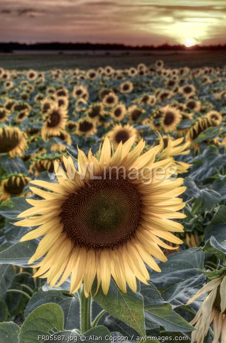 France, Centre Region, Indre-et-Loire, Sainte Maure de Touraine, Sunflowers in Sunflower Field