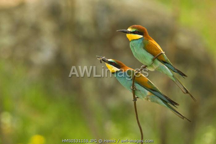 Spain, Estremadura, Caceres, European Bee-eater (Merops apiaster)