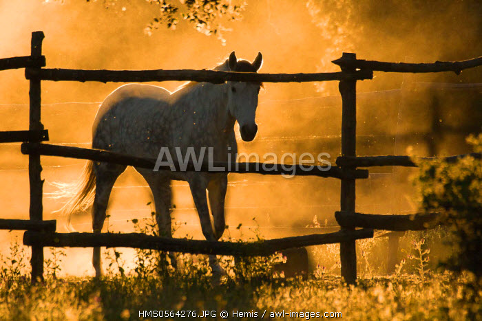 Spain, Estremadura, Caceres Province, Plasencia, horse in the Dehesa